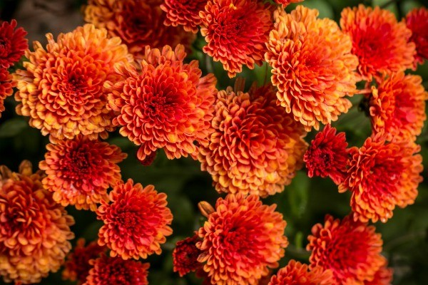 Choosing Fall Flowers and Plants | ThriftyFun