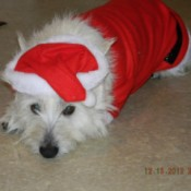 Scooter in Santa suit.