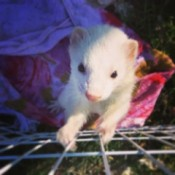 Tinker (White Ferret)
