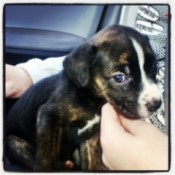 Black and tan puppy with white chest and blaze.