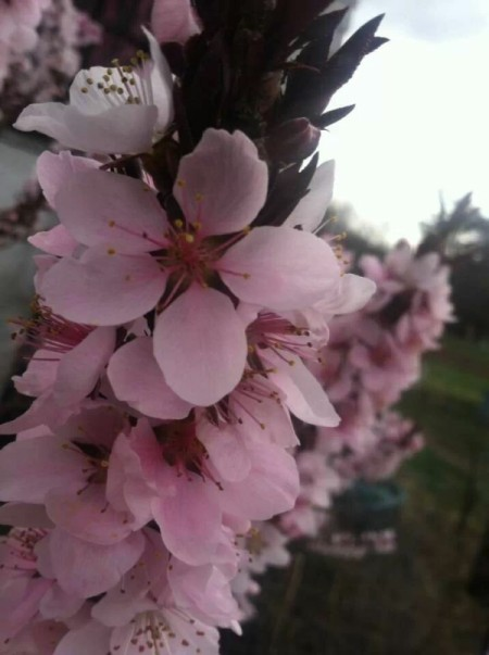 Blooming Patio Peach Tree