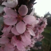 Blooming Patio Peach Tree