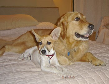 Sam (Rat Terrier) and Riley (Golden Retriever)