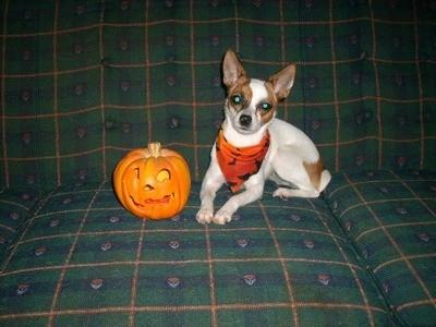 Izzy Bella (Rat Terrier)