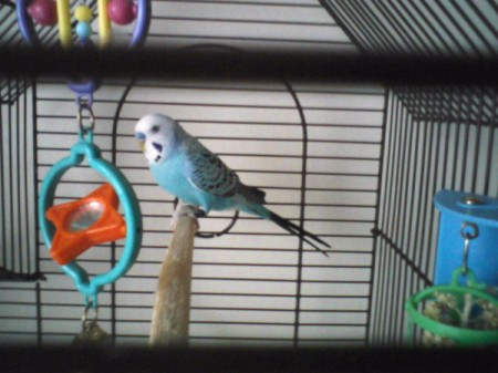BlueBoy in a cage on perch.