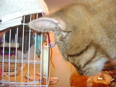 Cat looking into parakeet cage.