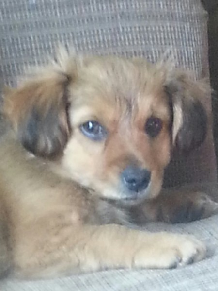 Brown puppy with black ear tips.