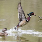 Wood Ducks (Sea Pines Wildlife Park, SC)
