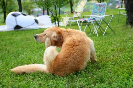 A dog sitting on the grass scratching at fleas.