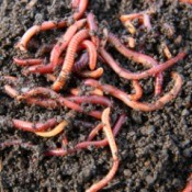 Worm Composting (Vermicomposting)