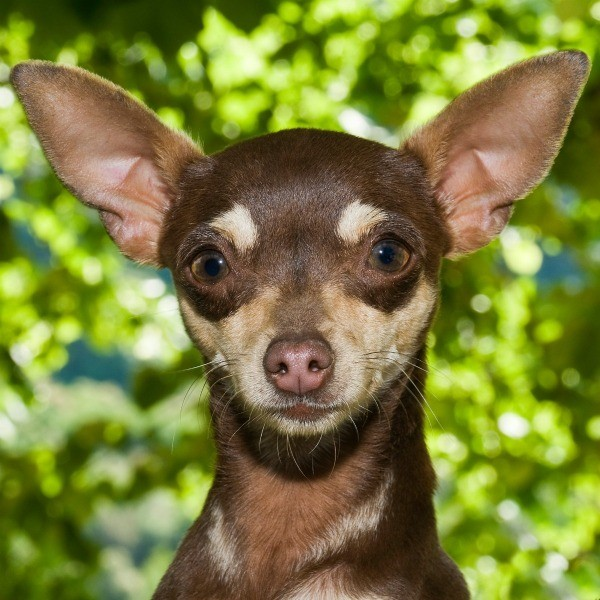 Rat Terrier Breed Information And Photos