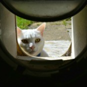 Cat Looking in Flap