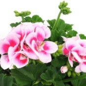 Geraniums fertilized by ammonia.