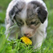 Puppy Smelling Flower