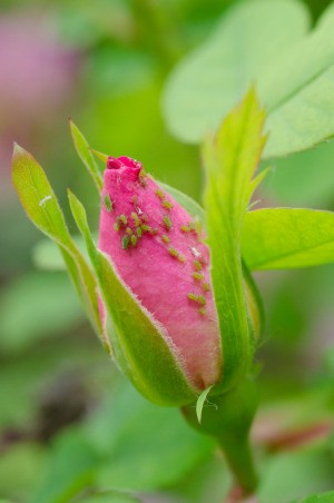 Aphids on a rose bud.