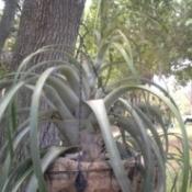 Will Bromeliad Tall Spike Bloom?
