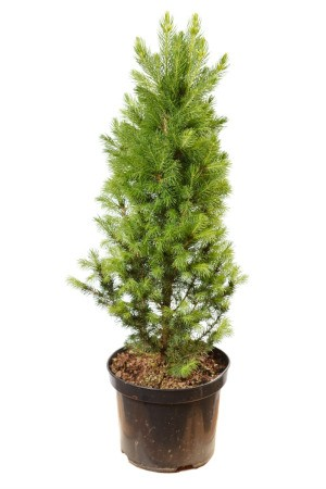 A pine tree in a pot.