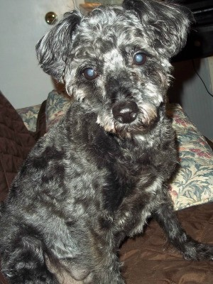 Poodle Terrier Mix