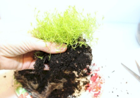 remove some dirt from roots of moss