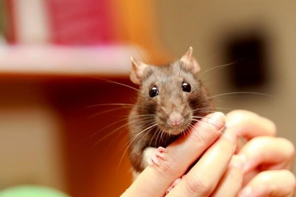 Good Pet Rat Food