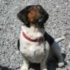 Beagle/Basset Hound