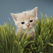 Cat in wheat grass