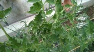 Closeup of perhaps tomato plant leaves.