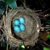 Four robin's eggs in nest.