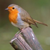 Robin sitting on a stump.
