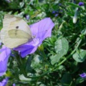 butterfly of an imported cabbage worm