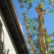 Melaleuca tree near building.