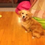 Yellow brown dog with medium hair.