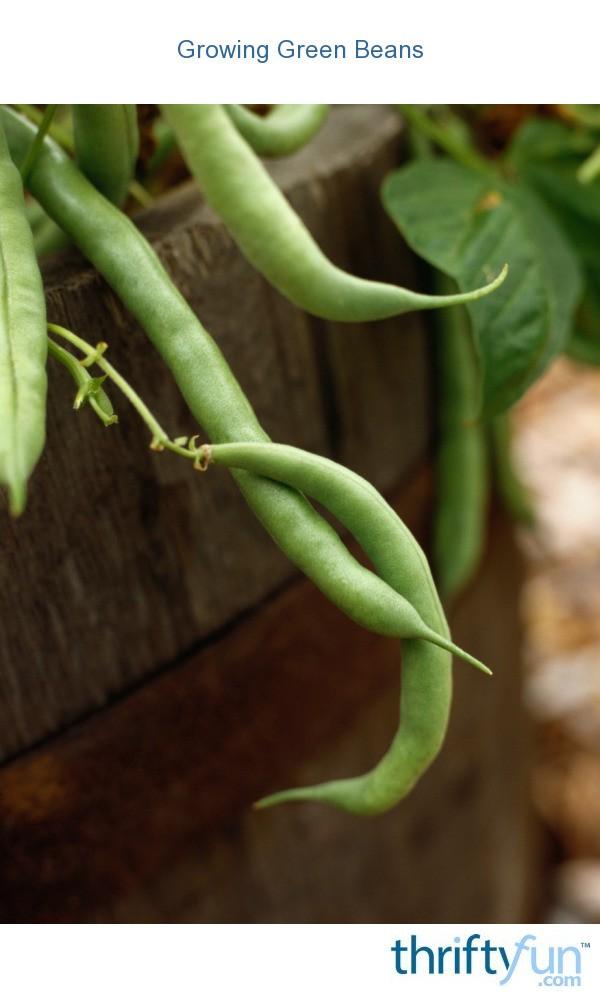 Growing Green Beans Thriftyfun
