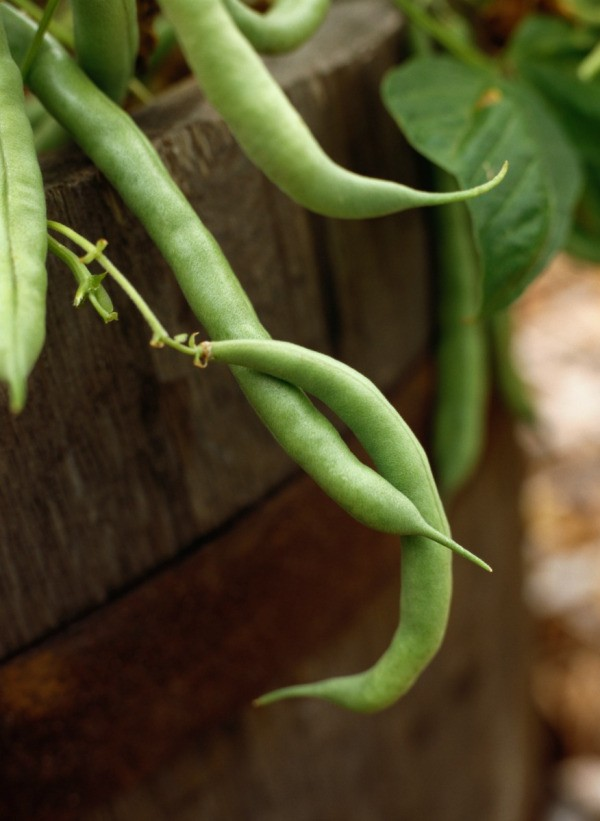Growing Green Beans Thriftyfun
