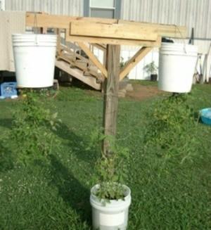 Growing Tomatoes Upside Down