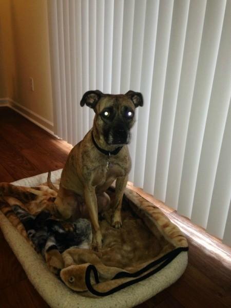 Brindle dog sitting on dog bed by window