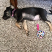 Shepherd mix puppy lying on the carpet.