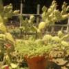 Cacti (Arcadia, CA)