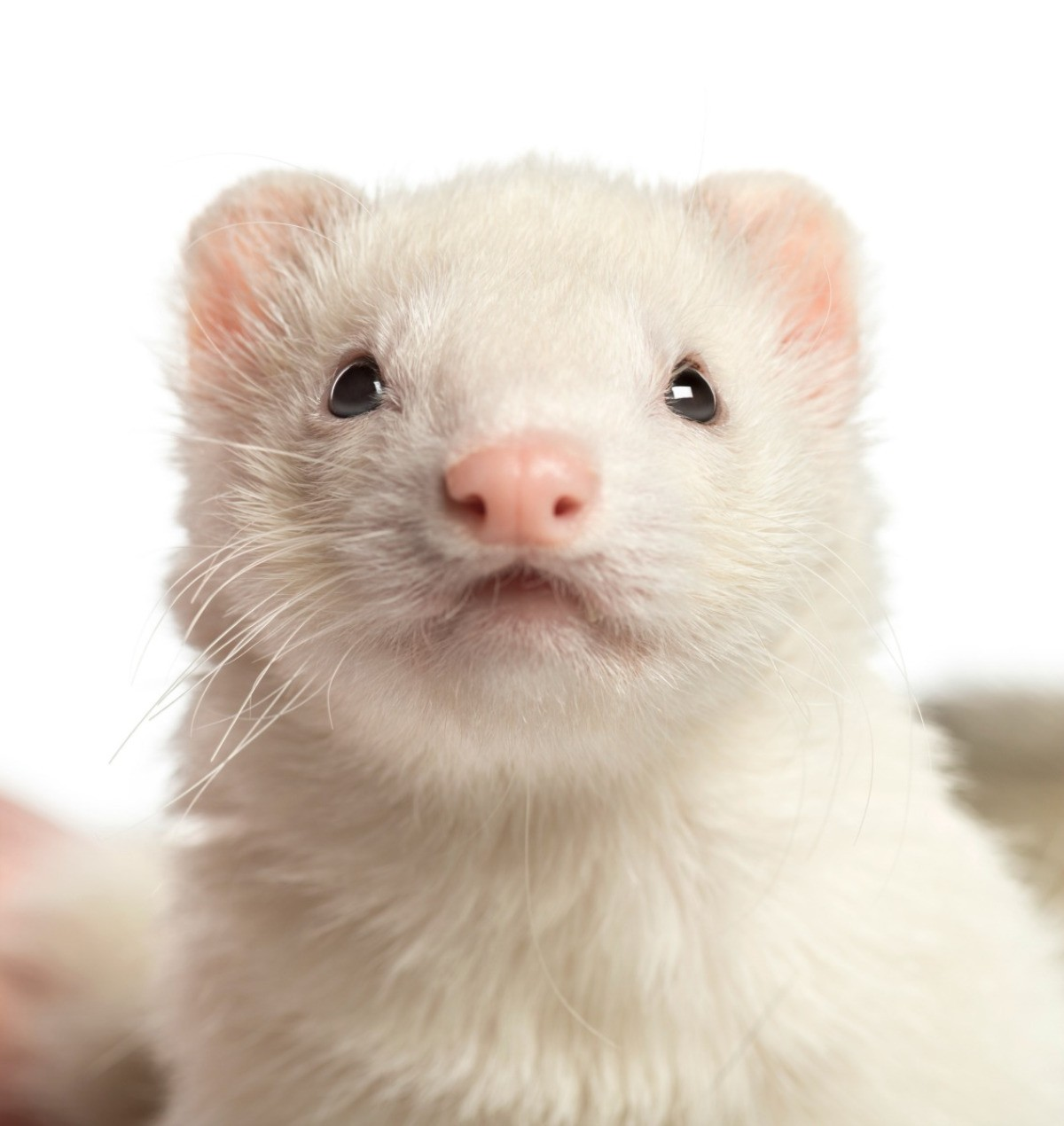 Removing Ferret Urine Odors from Floors | ThriftyFun