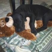 black puppy asleep with a brown Teddy bear