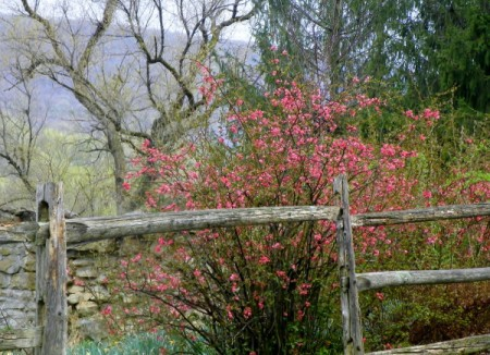 red flowering shrub by split rail fence