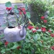 nasturtium in tea kettle