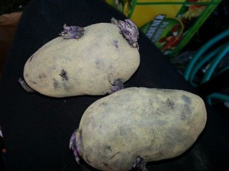 seed potato halves with emerging growth at eyes