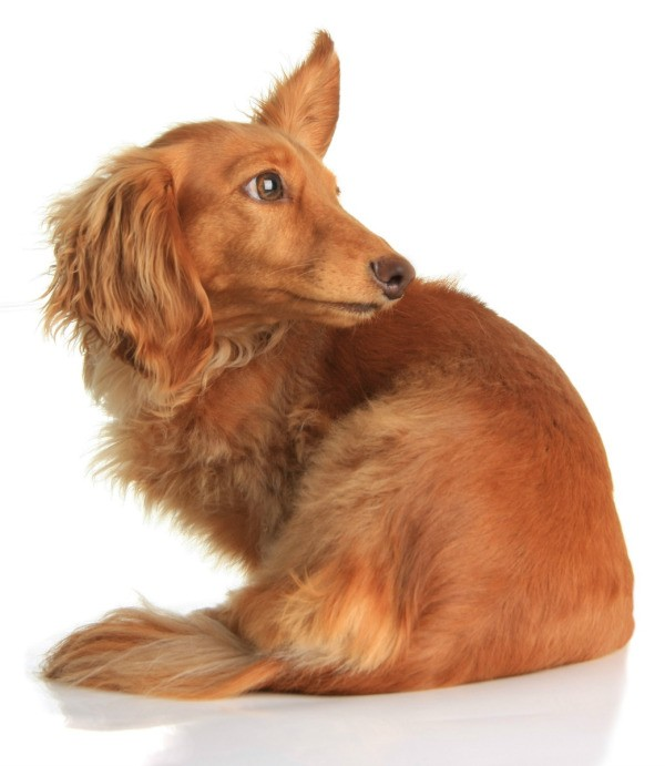 Dog Hearing Loud Noise