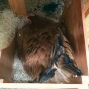 broody hen in nesting box