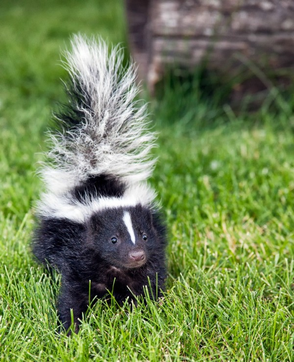 Skunk In Backyard understanding skunk behavior | thriftyfun