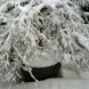 Winter Maple in Planter
