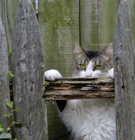 Bella looking though a gap in wooden fence