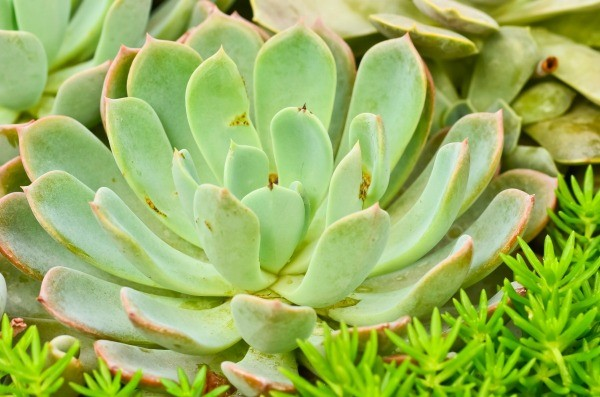 Growing succulents thriftyfun for Plants that need little care
