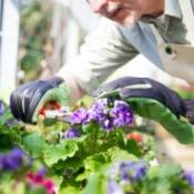 man pruning a flowering plant